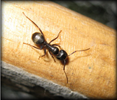 Carpenter Ant