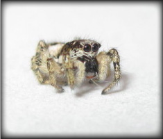 Jumping Spider (close-up)
