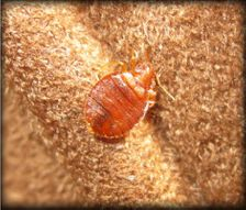 Bed Bug (close-up)