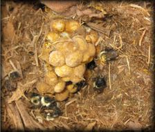 Bumble Bee Nest (close-up)